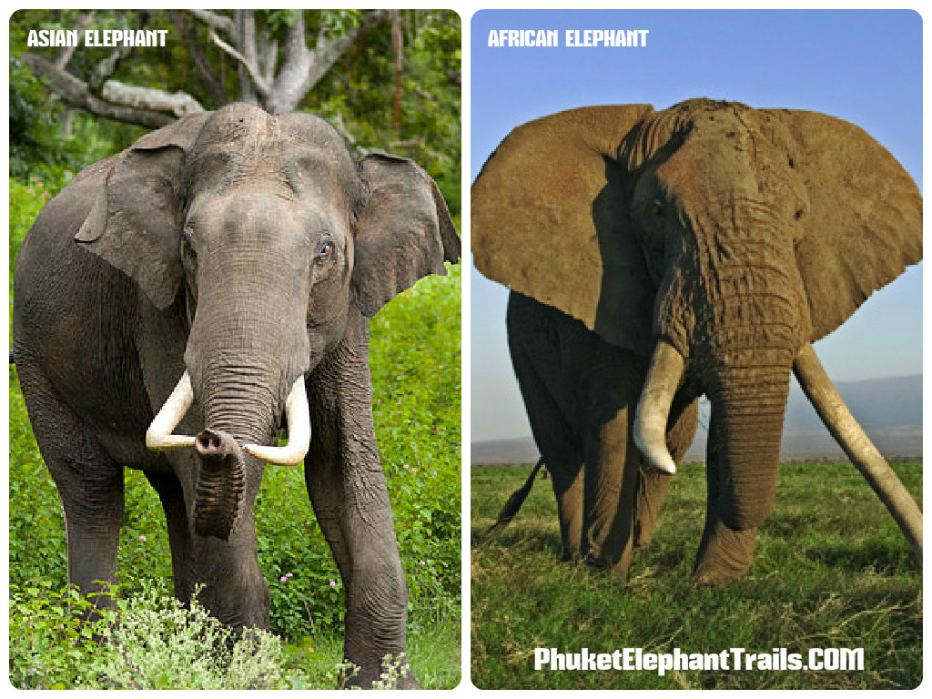 Hasil gambar untuk ears of asian and african elephant