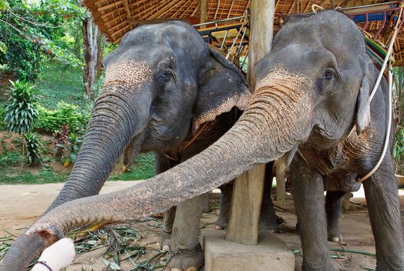 Phuket_Adventure_Elephants