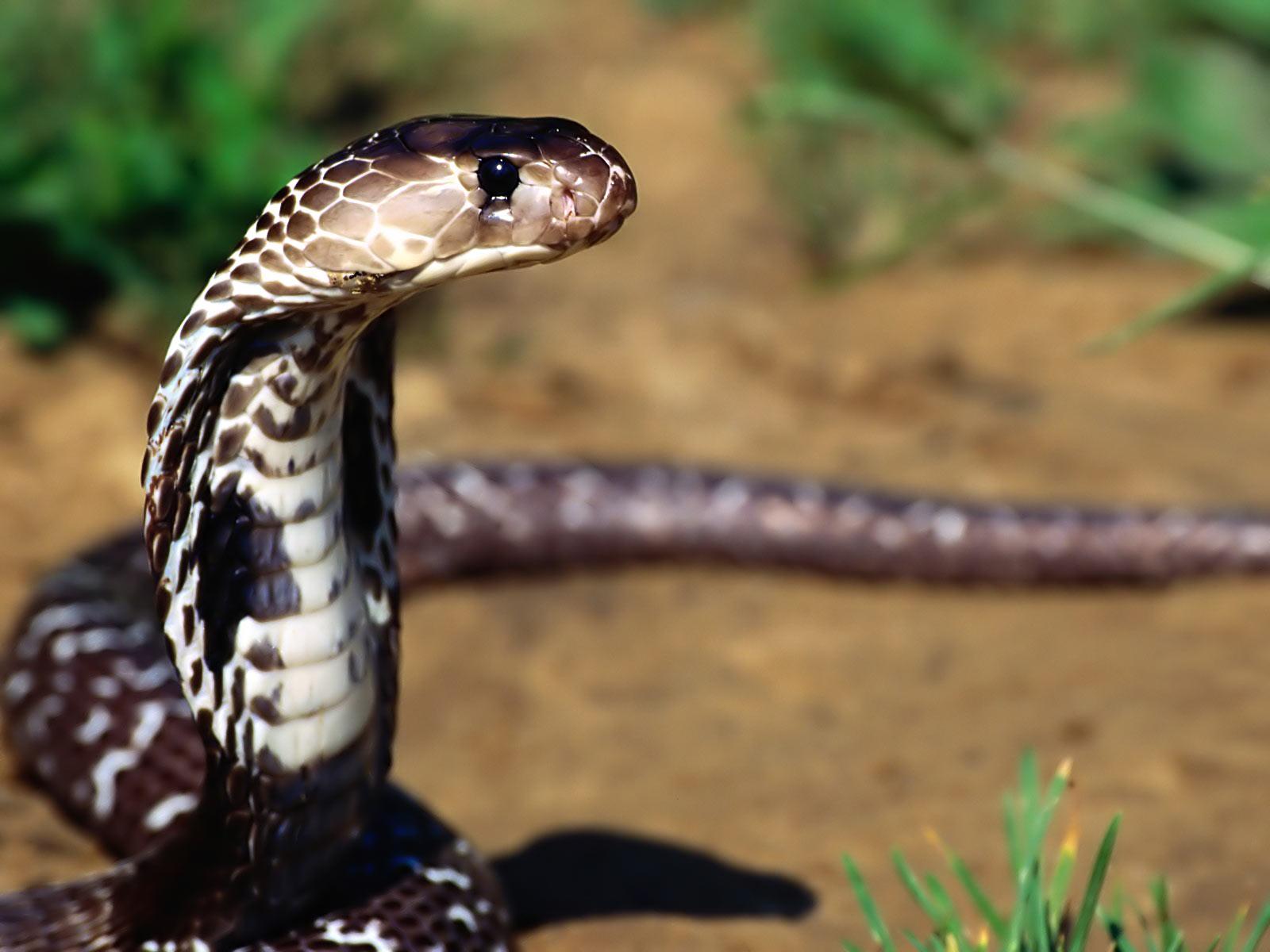 Cobra thailand